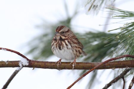 Song Sparrow (Melospiza melodia) perched on a tree limb in snow Imagens