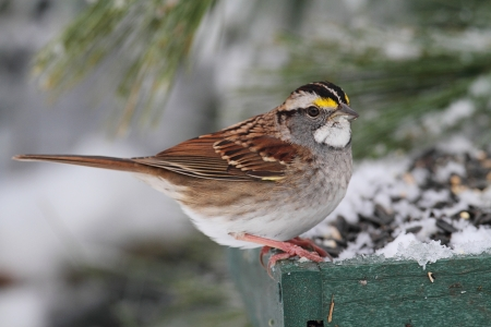 bird feeder: White-throated Sparrow (zonotrichia albicollis) perched on a snow covered feeder