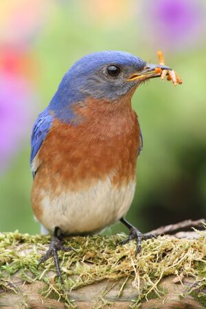 Male Eastern Bluebird (Sialia sialis) on a branch with a worm photo