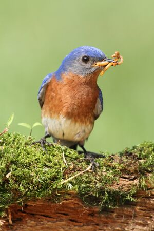 Male Eastern Bluebird (Sialia sialis) on a branch with a worm 免版税图像