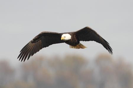 Adultos águila Calva Haliaeetus Leucocephalus En Vuelo Contra Un ...