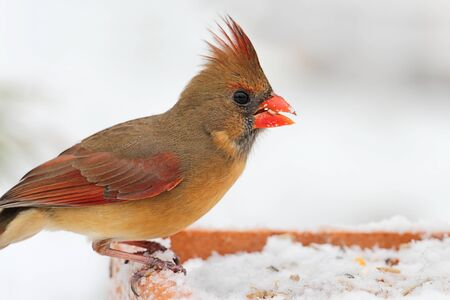 Female Northern Cardinal (cardinalis cardinalis) on a feeder in a snow storm Stock Photo - 16559165