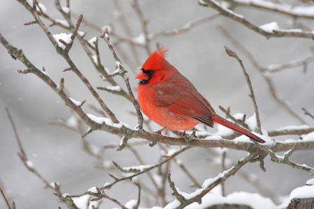 Male Northern Cardinal  cardinalis cardinalis  on a branch covered with snow photo