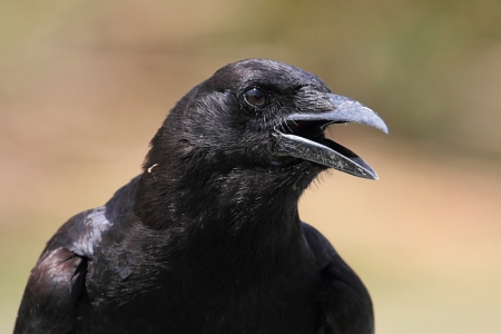 the crows: American Crow (Corvus brachyrhynchos) calling with a green background