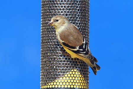 goldfinch: American Goldfinch (Carduelis tristis) perched on a feeder with a blue background Stock Photo