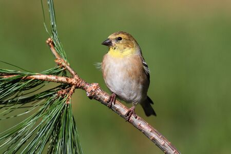 goldfinch: American Goldfinch (Carduelis tristis) perched with a green background Stock Photo