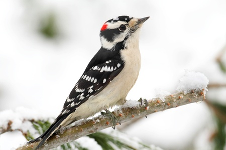 downy woodpecker: Downy Woodpecker (picoides pubescens) branch with snow with a white background