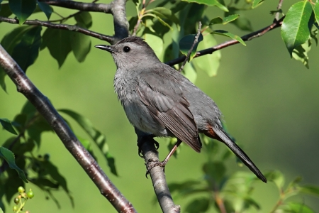 dumetella: Gray Catbird (Dumetella carolinensis) on a branch in early spring Stock Photo