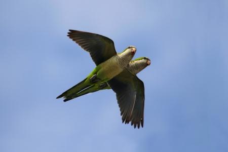 Pair of Monk Parakeets (Myiopsitta monachus) in flight