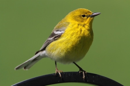 songbird: Pine Warbler (Dendroica Setophaga pinus) on a perch in early spring Stock Photo