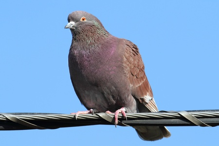 anima: Feral Rock Pigeon (Columba livia) perched with a blue sky background