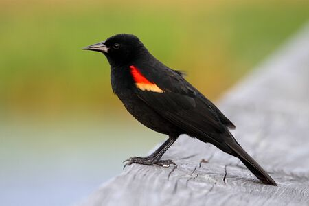 blackbird: Male Red-winged Blackbird (Agelaius phoeniceus) perched Stock Photo