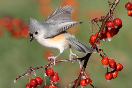 titmouse: Tufted Titmouse (baeolophus bicolor) on a wild cherry perch with a colorful background Stock Photo