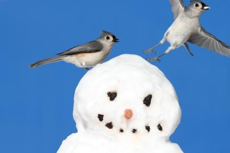 titmouse: Tufted Titmouse (baeolophus bicolor) on a snowman