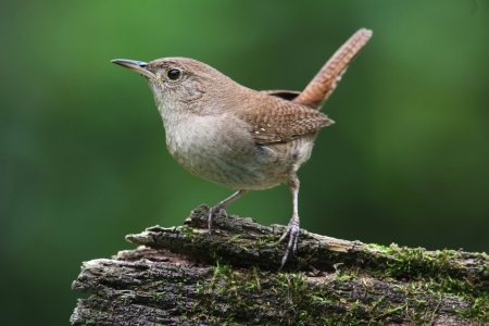 House Wren (Troglodytes aedon) on a branch with a green background Stock Photo