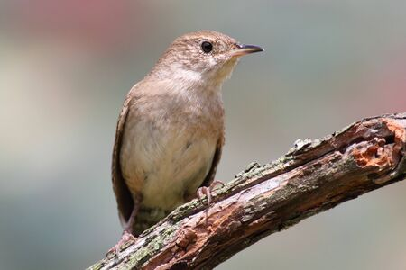 troglodytes: House Wren (Troglodytes aedon) on a branch with a green background Stock Photo