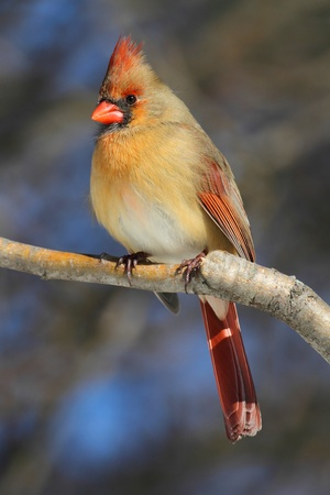 Female Northern Cardinal (cardinalis) on a branch in winter Stock Photo
