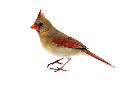 cardinal bird: Female Northern Cardinal (Cardinalis) - Isolated on a white background Stock Photo
