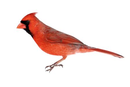 cardinal bird: Male Northern Cardinal (Cardinalis) - Isolated on a white background Stock Photo