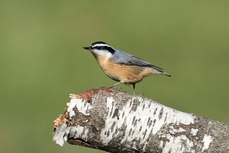 Red-breasted Nuthatch (sitta canadensis) on a birch perch with a green background