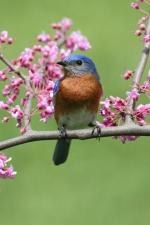 花と桜の木で男性ルリツグミ (Sialia sialis)