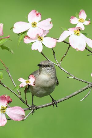 dogwood tree: Northern Mockingbird (Mimus polyglottos) in a dogwood tree with flowers Stock Photo