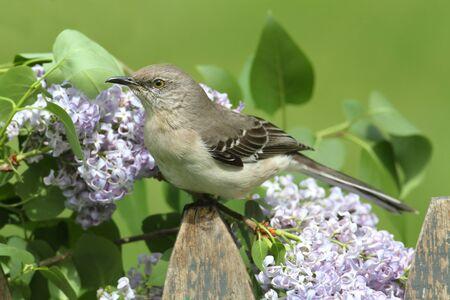 mockingbird: Northern Mockingbird (Mimus polyglottos) on a fence with lilac flowers