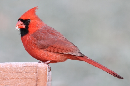 Male Northern Cardinal (cardinalis cardinalis) on a feeder in winter photo