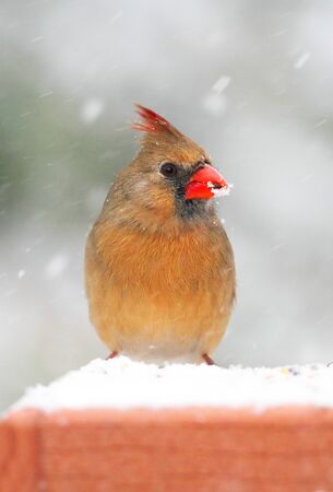 Female Northern Cardinal (cardinalis cardinalis) on a feeder in winter during snow storm photo