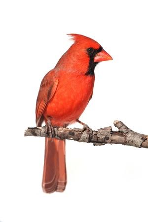 白い背景で隔離の枝に北の枢機卿 (Cardinalis)