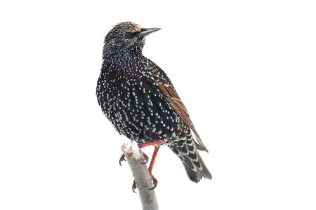 European Starling (Sturnus vulgaris) in snow - isolated on a white background