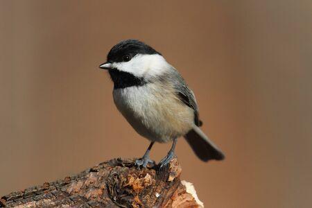 songbird: Carolina Chickadee (Poecile carolinensis) on a perch in winter
