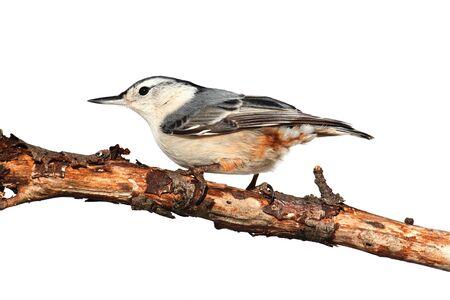 carolinensis: White-breasted Nuthatch  sitta carolinensis  on a tree branch isolated on a white background