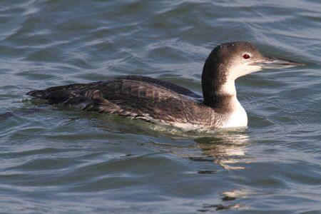 Common Loon  Gavia immer  swimming in the ocean in winter photo