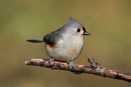 titmouse: Tufted Titmouse  baeolophus bicolor  on a stick with a green background Stock Photo