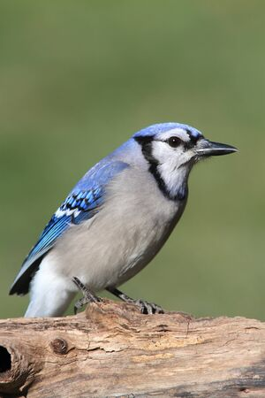 Blue Jay (corvid cyanocitta) on a stump with a green background photo