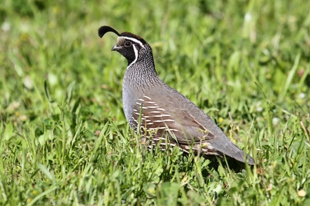 California Quail (Callipepla californica) in a field Standard-Bild