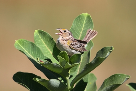 threatened: Threatened Grasshopper Sparrow (Ammodramus savannarum) singing on milkweed