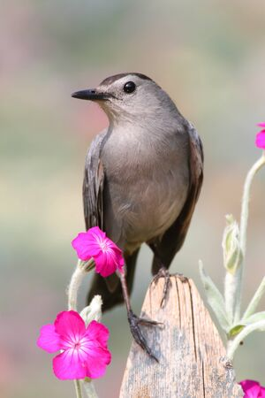 catbird: Gray Catbird (Dumetella carolinensis) on a fence with flowers Stock Photo