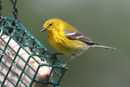 bird feeder: Pine Warbler (Dendroica Setophaga pinus) on a feeder in early spring Stock Photo