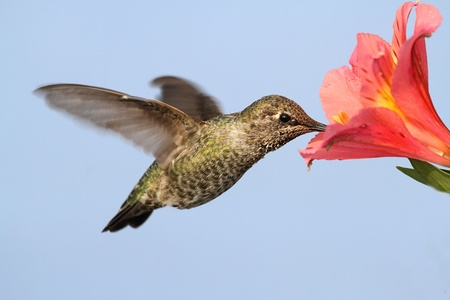 anna: Annas Hummingbird  Calypte anna  in flight at a flower with a blue background