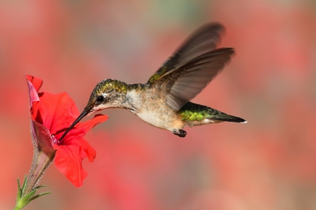 Juvenile Ruby-throated Hummingbird  archilochus colubris  in flight at a flower with a colorful background