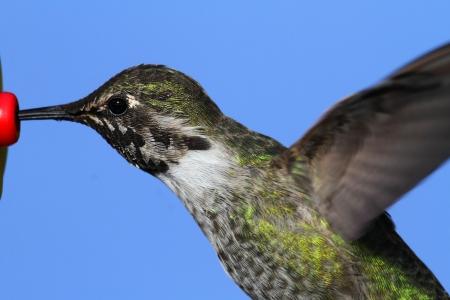 An�s Hummingbird Calypte anna en vuelo en un alimentador con un fondo azul Foto de archivo - 17974142