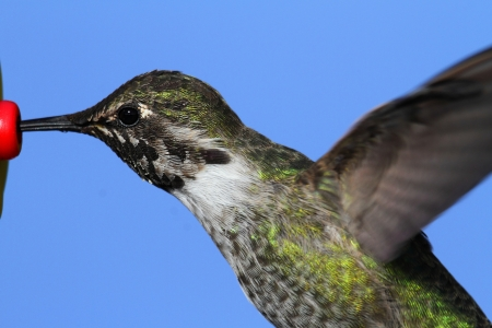 Anás Hummingbird Calypte anna en vuelo en un alimentador con un fondo azul Foto de archivo - 17974142
