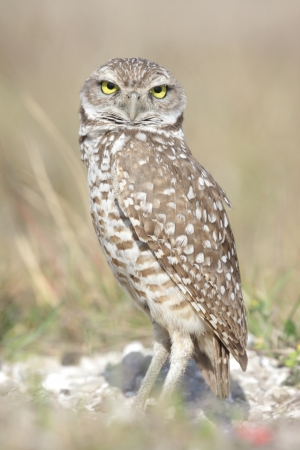 burrowing: Burrowing Owl (athene cunicularia) by a nest hole in the Florida Everglades