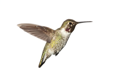 anna: Male Annas Hummingbird (Calypte anna) in flight isolated on a white background