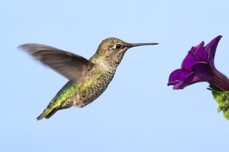 Annas Hummingbird (Calypte anna) in flight at a flower with a blue background Stock Photo