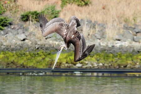 Brown Pelican (Pelecanus occidentalis) diving into the ocean Banco de Imagens