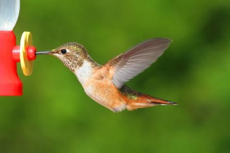 rufous: Rufous Hummingbird (Selasphorus rufus) in flight at a feeder
