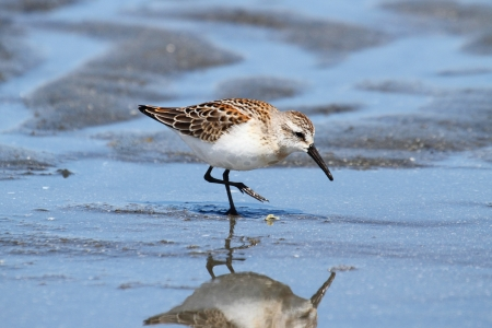 Western Sandpiper  Calidris mauri  feeding in water by the Pacific Ocean photo